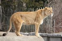 800px-Lioness_12